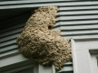 Wasp nest removed from seattle condo